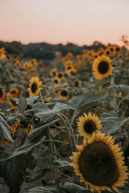 focus photography of yellow sunflower field Sunflower