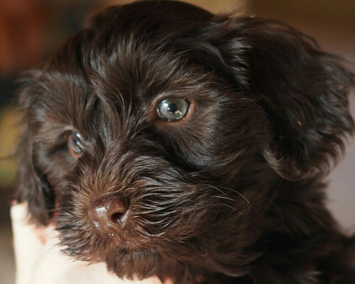 Qyto 8 weken Puppies, Dogs, Animals