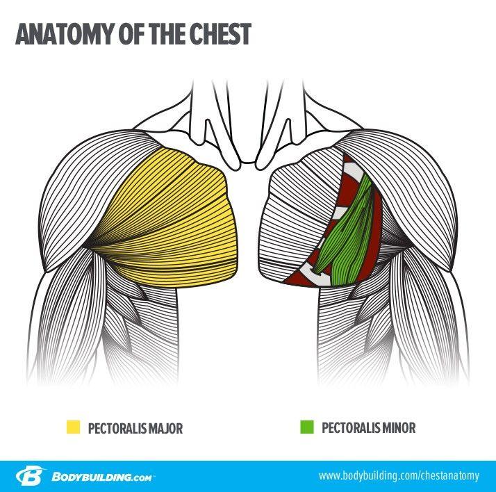 Pin de augusto caruso en figuras | Pinterest | Anatomía, Anatomía ...