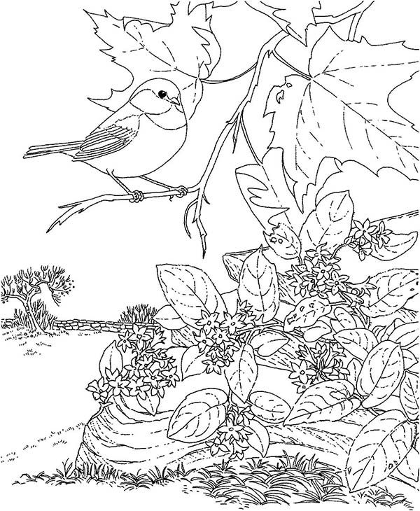 Chickadee Beautiful Bird Coloring Page