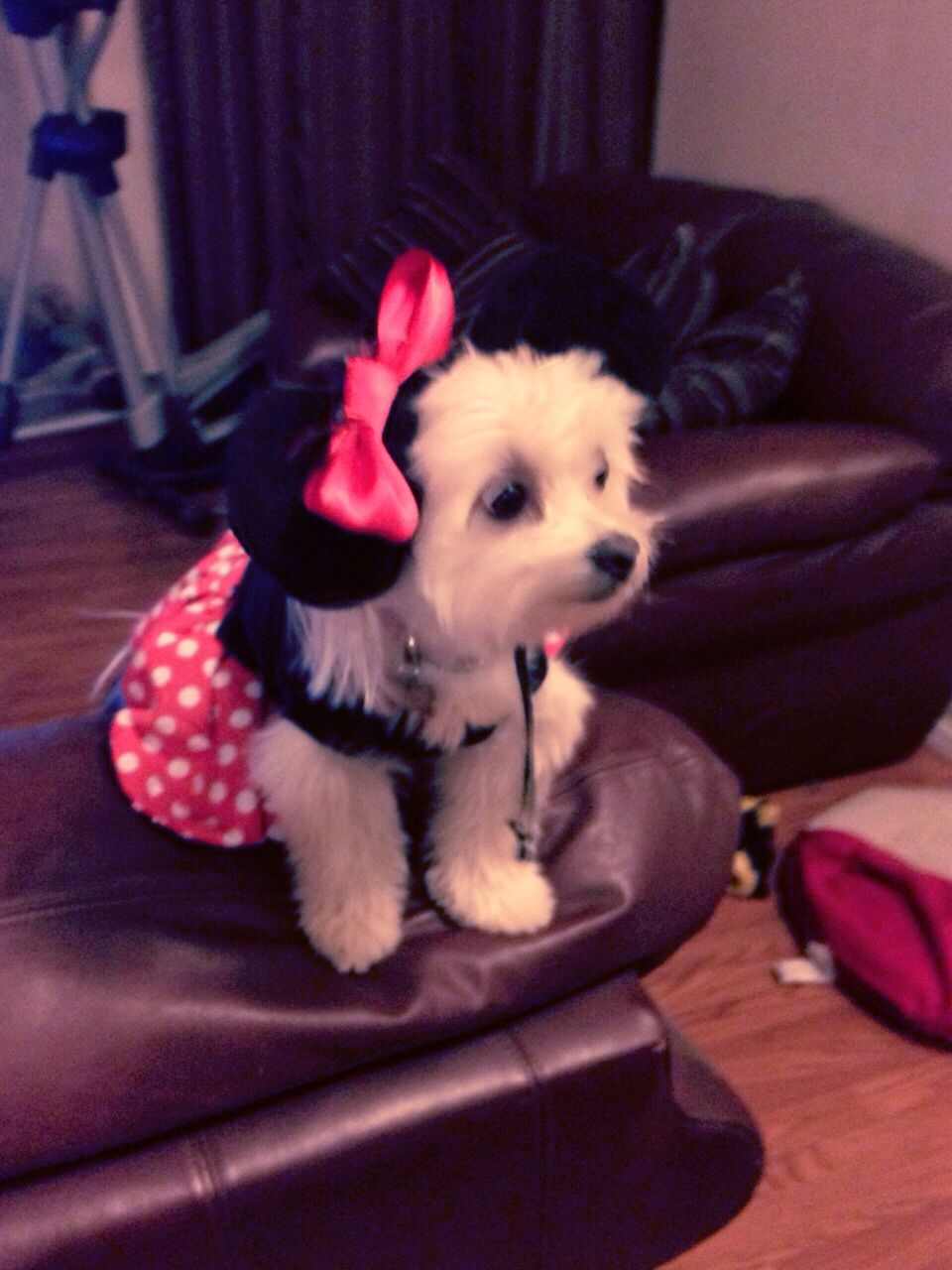 Cupcake In Her Minnie Mouse Dog Costume Maltipom Pomaneese Dog