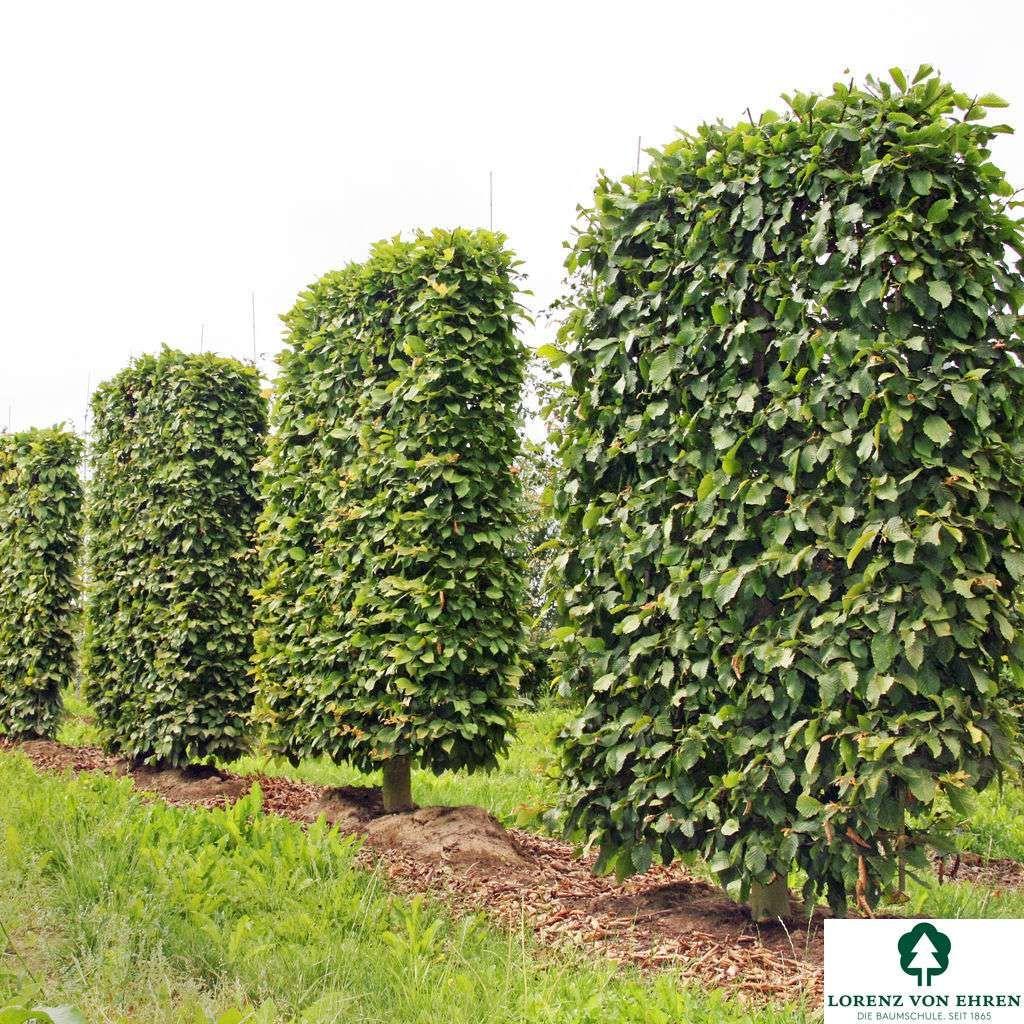 Wuchs Mittelgrosser Baum 5 15 20 M Hoch Je Nach Mehrstammigkeit 4 6 8 M Breit Etwas Unregelmassig Aufge Garten Pflanzen Sichtschutzwand Garten Baume Garten
