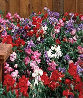 Sweat peas in hanging baskets or near columns