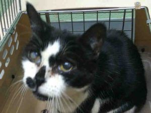 1/7/17 - Super Urgent Brooklyn - WOODLEY - #A1100807 - 10 YR OLD FRIENDLY AND SOCIABLE KITTY HAS A POSSIBLE URI - ALSO INFECTED WOUNDS ON ALL PAWS - NEEDS MEDICAL AND RESCUE! - FEMALE WHITE BLACK DSH MIX, STRAY - Intake 12/31/16 Due Out 12/03/16 - - SOCIABLE, ALLOWED ALL HANDLING