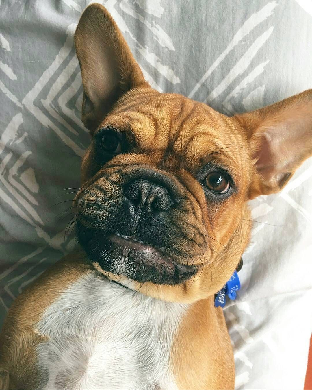 A L F I E Feature Of Alfie Thefrenchbulldog Frenchbulldog