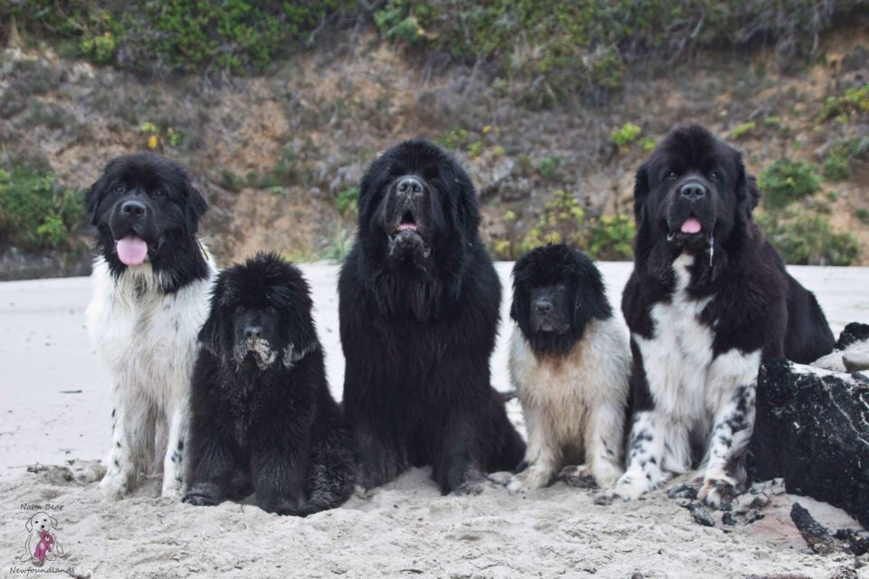 Notta Bear Newfoundlands On The Beach In Pacific City Oregon