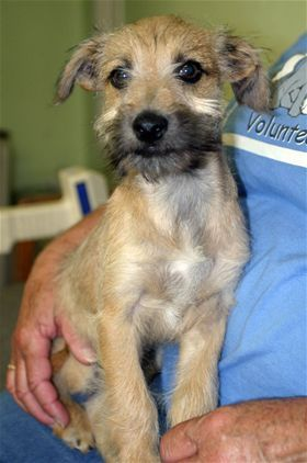 Mustache 16 Weeks Terrier Mix C A R L Terrier Mix Canine