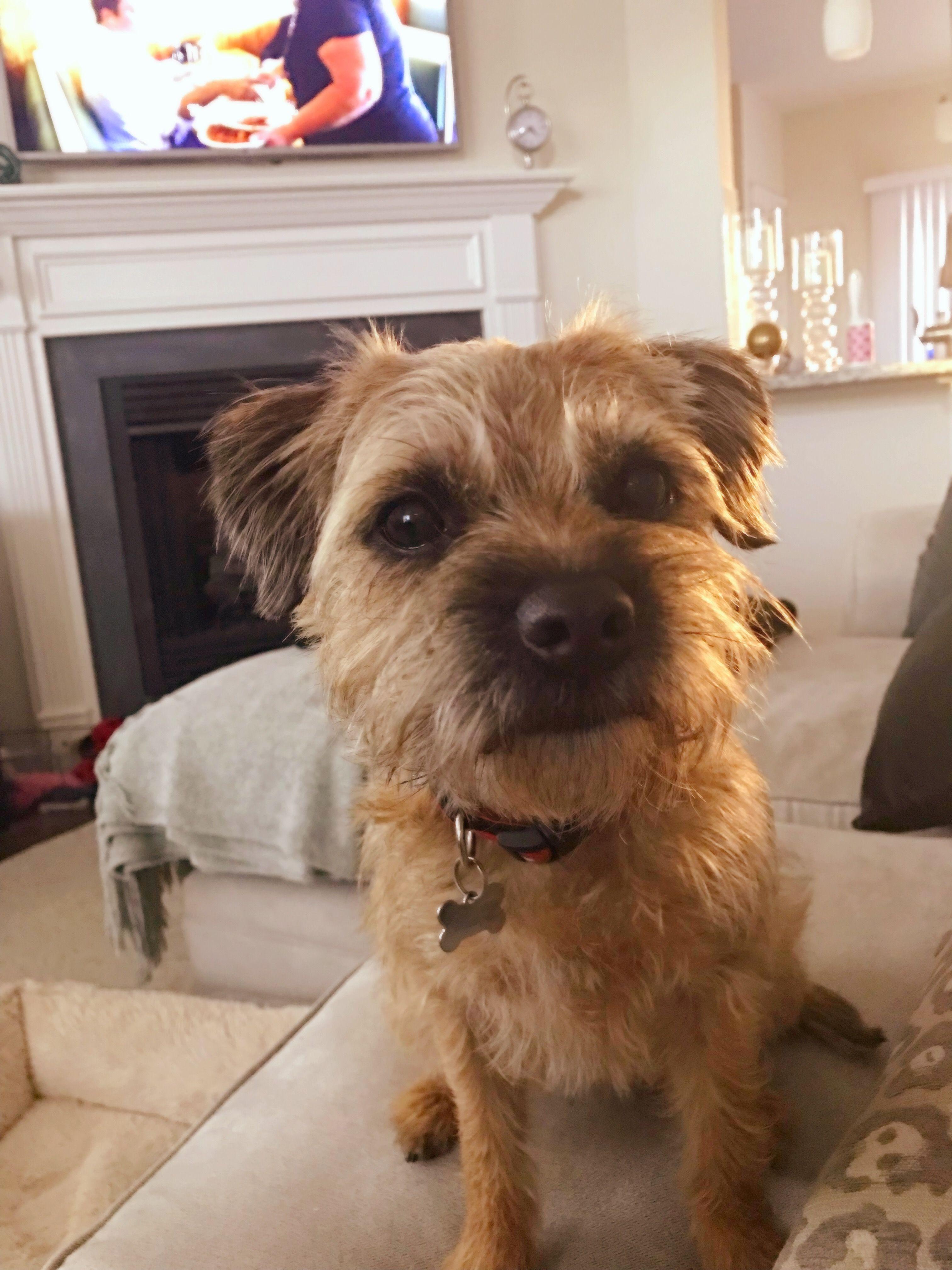 Border Terrier Border Terrier Terrier Puppies