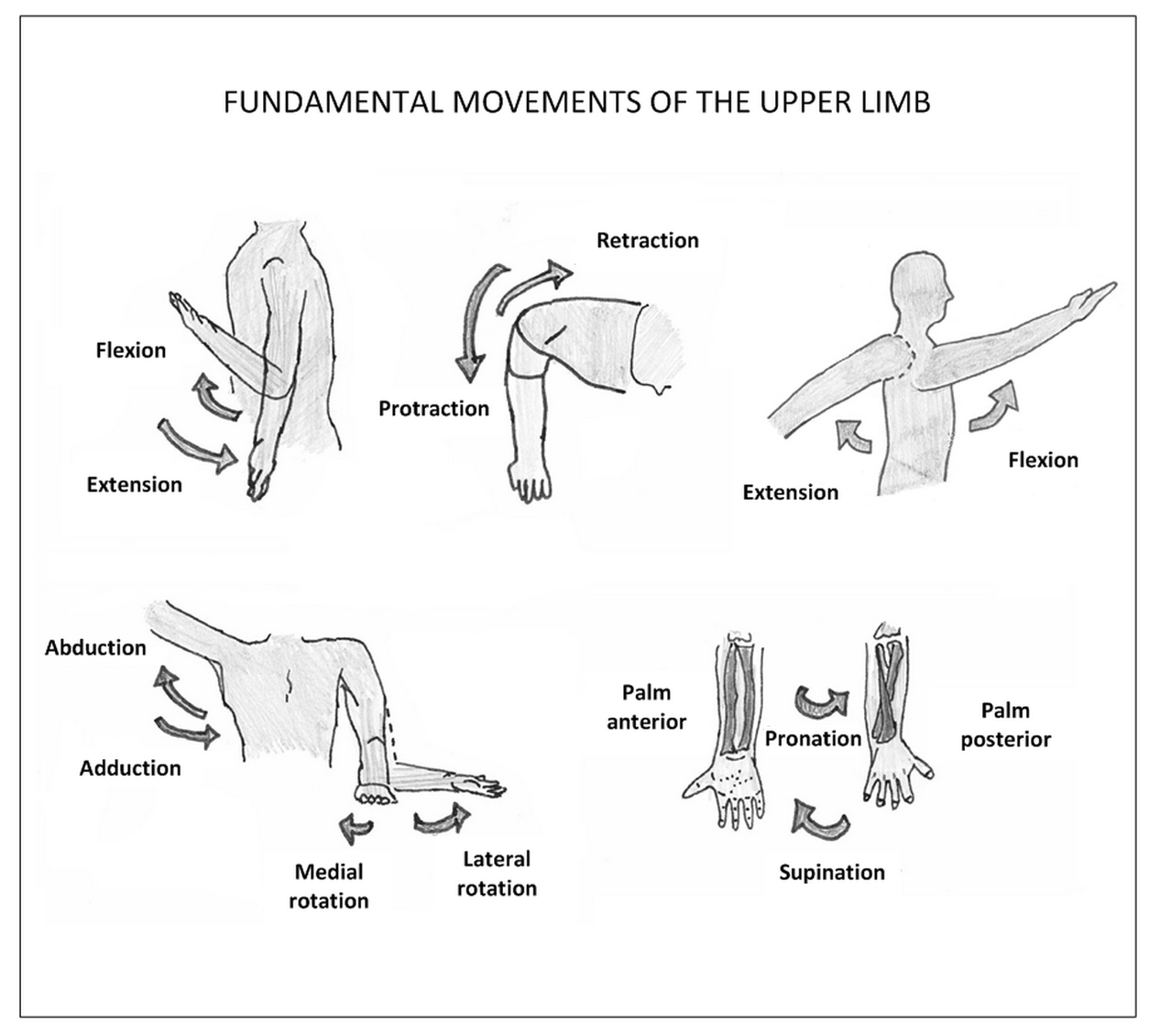 Anatomy Revision of the Upper Limb, Lower Limb & Back | School Nurse ...