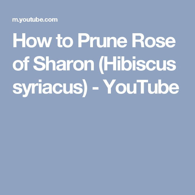 How to Prune Rose of Sharon (Hibiscus syriacus) - YouTube