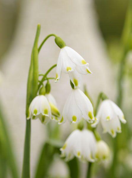 Leucojum Vernum Spring Snowflake Bulbs Bulb Flowers Spring Flowering Bulbs Spring Bulbs