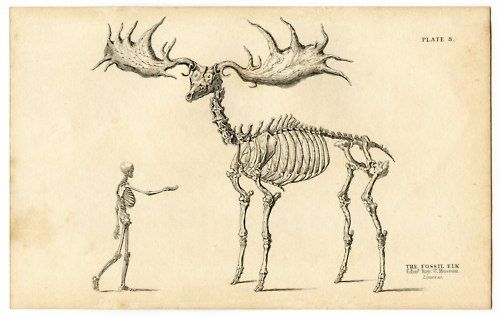 Irish Elk Compared To Moose Google Search Intriguing Pinterest