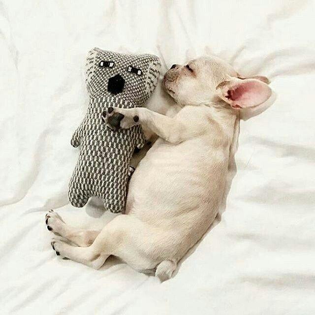 Sleeping French Bulldog Puppy So Precious Cute Cute French