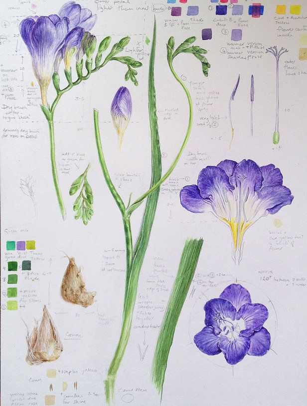 Dianne Sutherland Botanical Illustration Dessins Botaniques