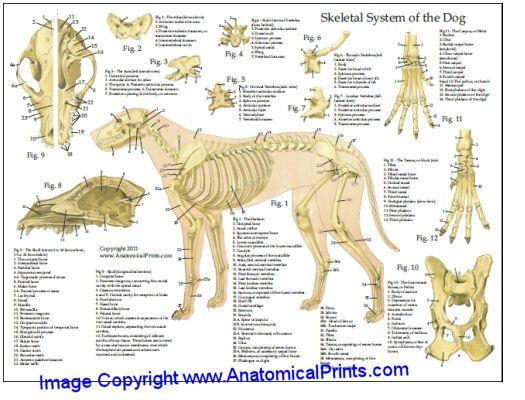 Dog Anatomy Laminated Chart 8.5\