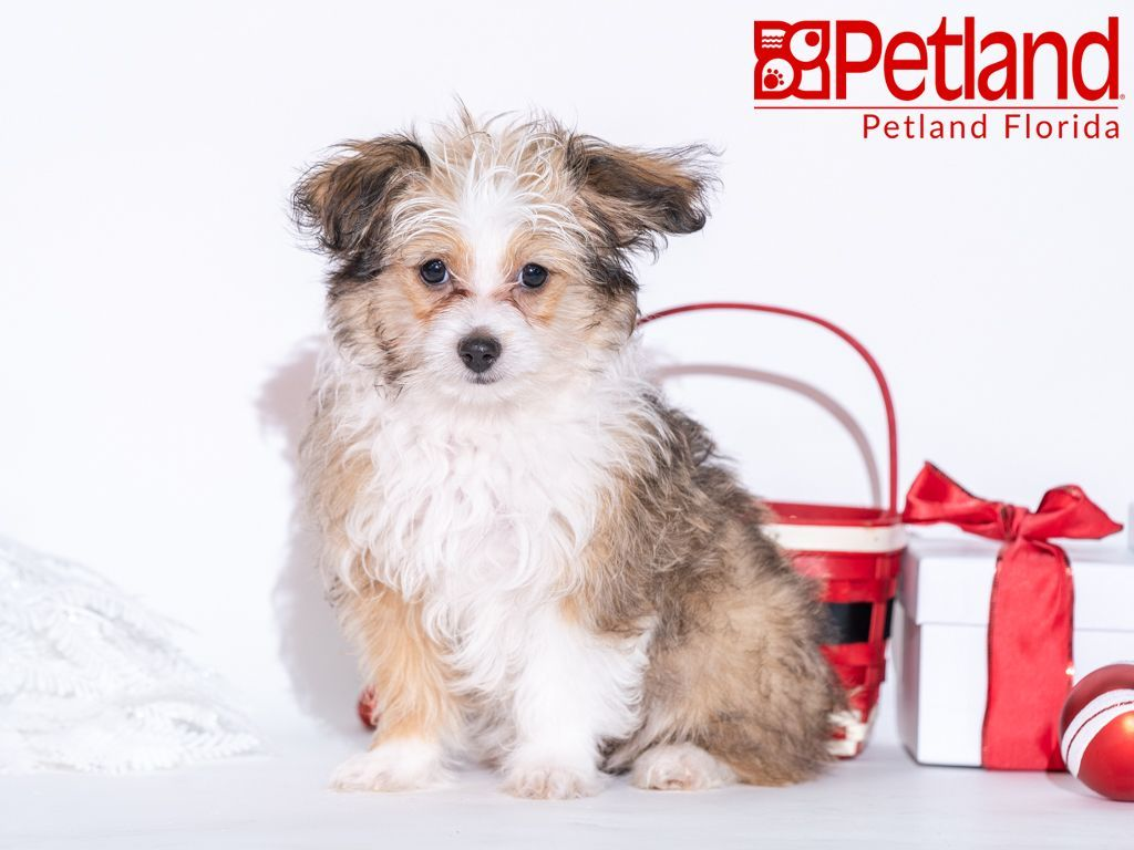 Petland Florida Has Mini Aussiedoodle Puppies For Sale Check Out