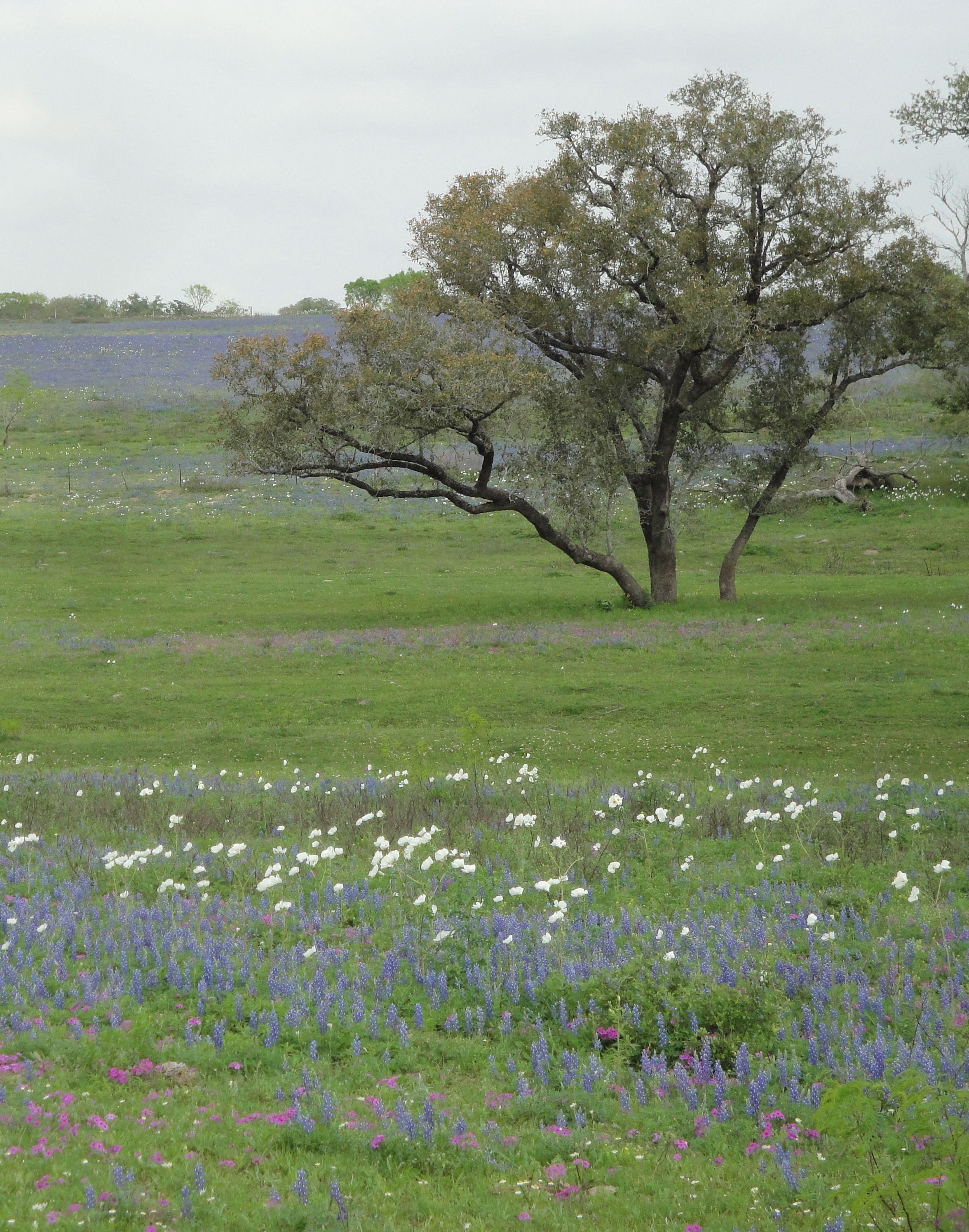 Wildflowers and Oak Tree