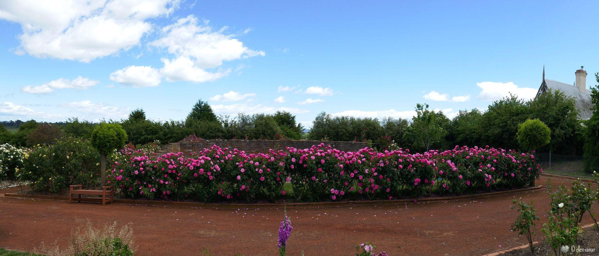 ✣ Rose Garden, Woolmers,Tasmania ✣  Photograph © Ellen Vaman www.facebook.com/ellen.vaman1 #EllenVaman #Photography #Tasmania #WoolmersRoseGarden #Flowers #Garden #Beauty #Wildlife #Nature