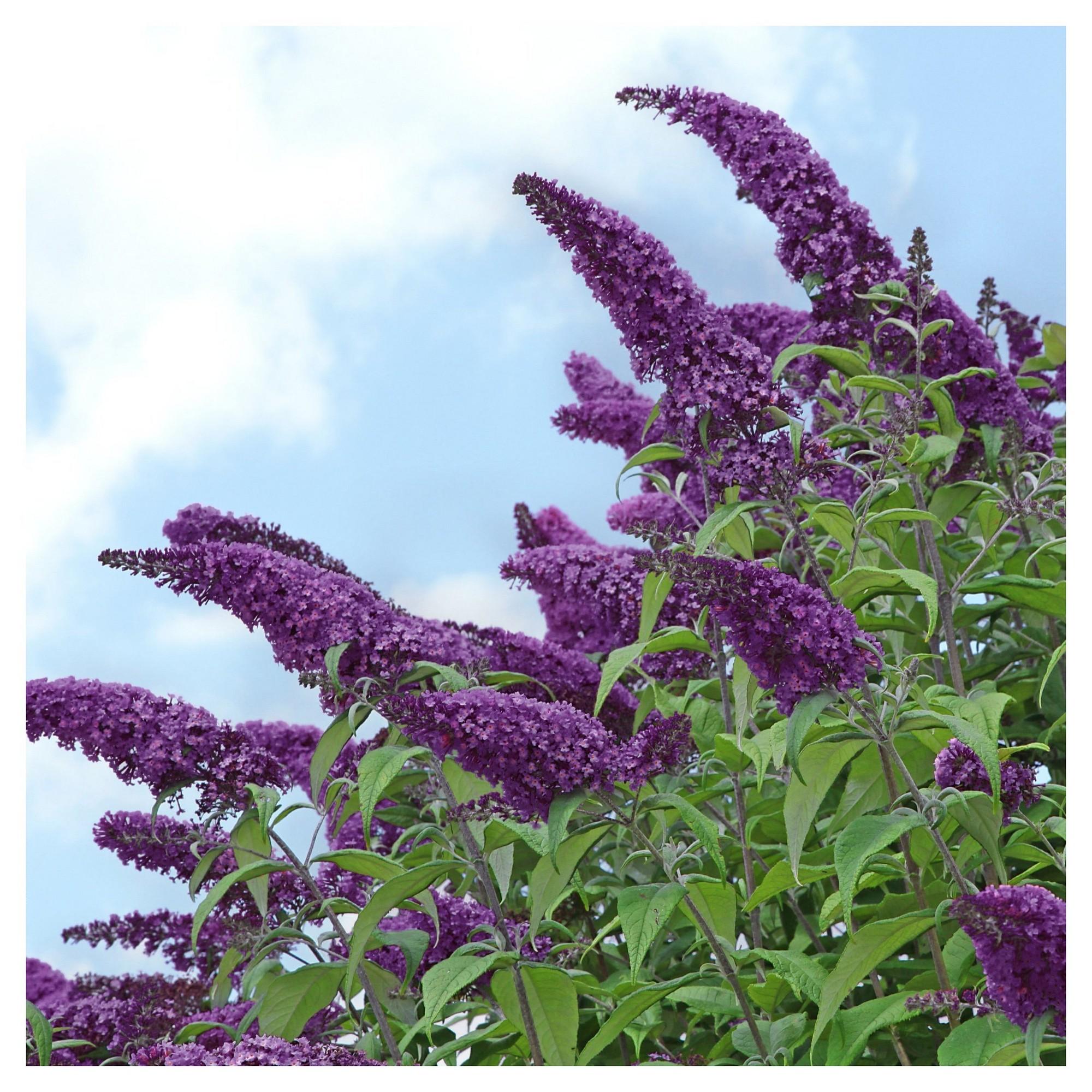 Buddleia Black Knight 1pc Cottage Hill U S D A Hardiness Zone 5 9 Flowering Shrubs White Flowering Shrubs Plants