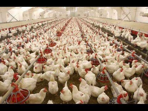 Poultry Farming in Bangladesh 1 | Farming | Avian influenza