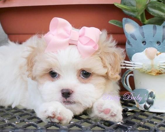 Index Element124 Jpg Cute Baby Animals Shih Poo Puppies Toy