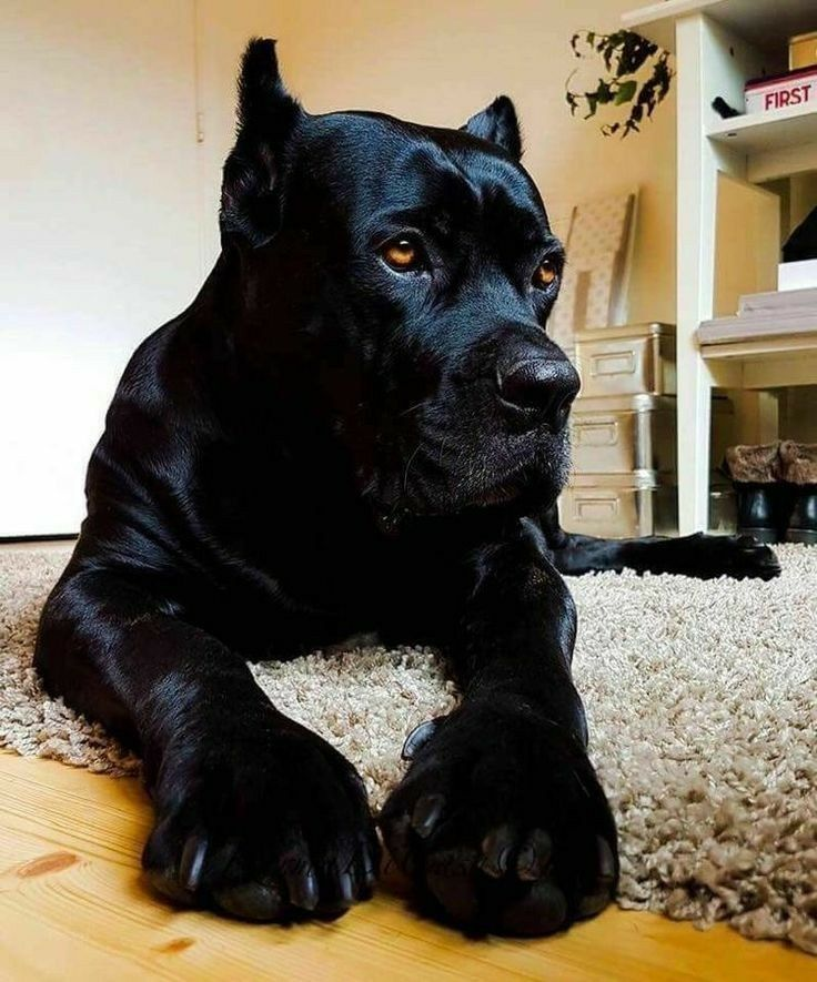 Found On Google From Pinterest Fr Corso Dog Dogs Cane Corso
