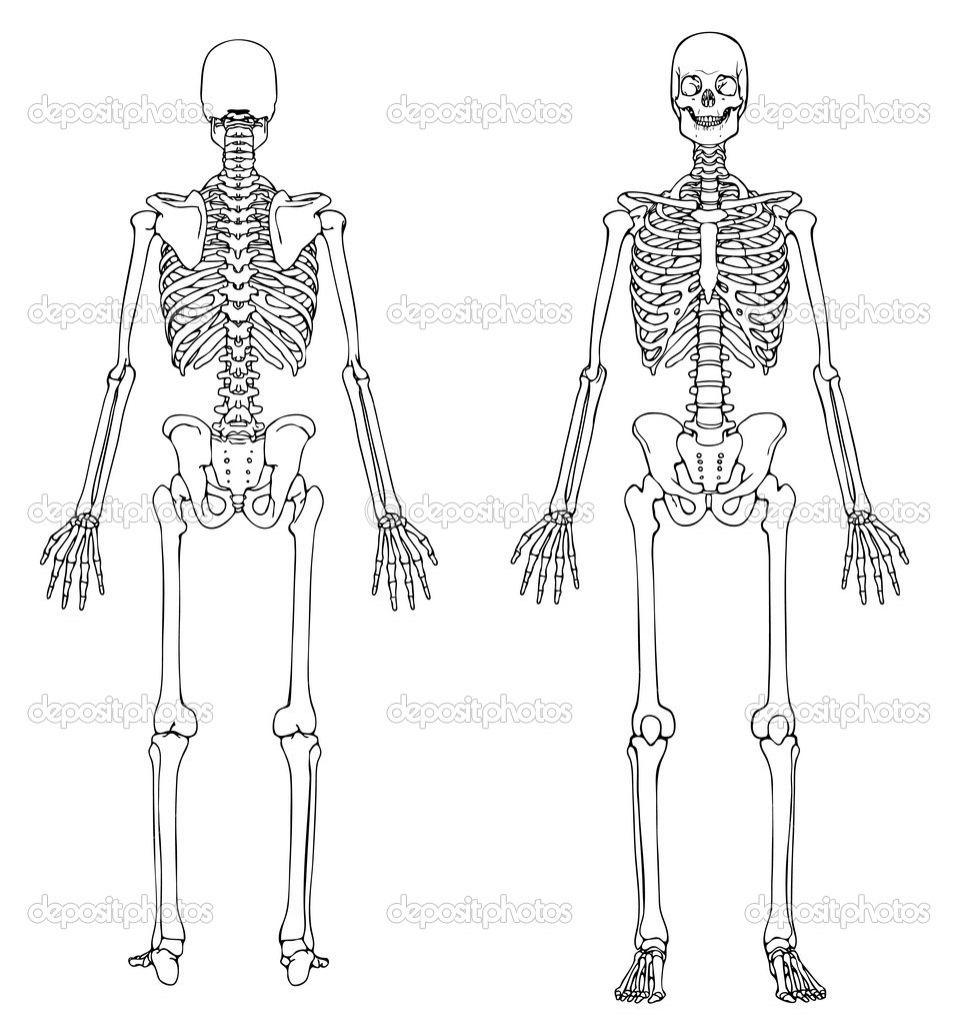 Unlabeled Diagram Of The Human Skeleton - koibana.info | Human skeleton,  Human skeleton anatomy, Skeleton anatomy Pinterest