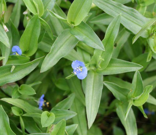Dayflower Weed Commelina Diffusa Related To Wandering Jew And Spiderwort Mine Has Beautiful Sciencewandering Orbotanyblue Flowerstiny