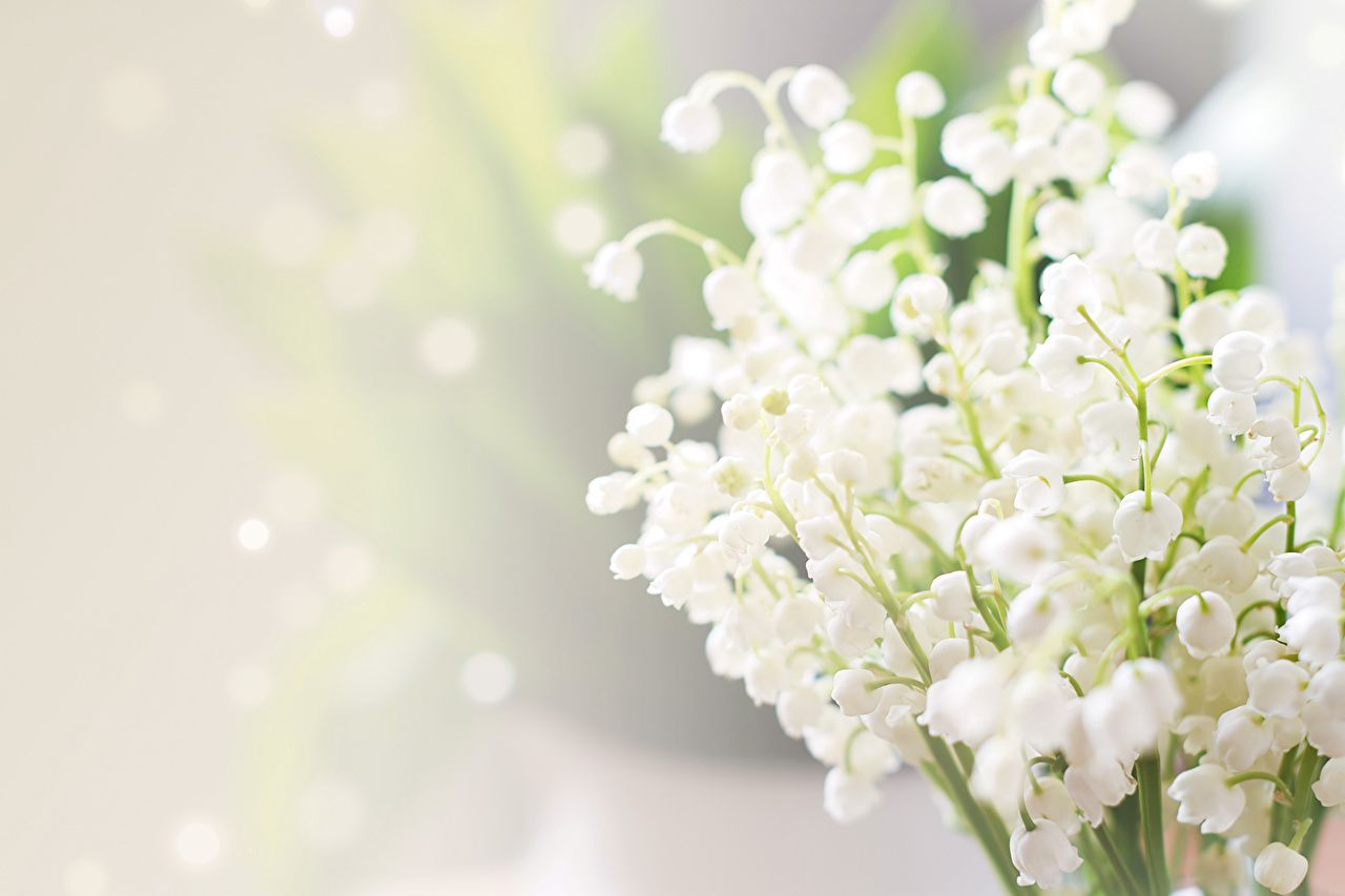 Обои ландыши, елые, цветы. Цветы foto 15
