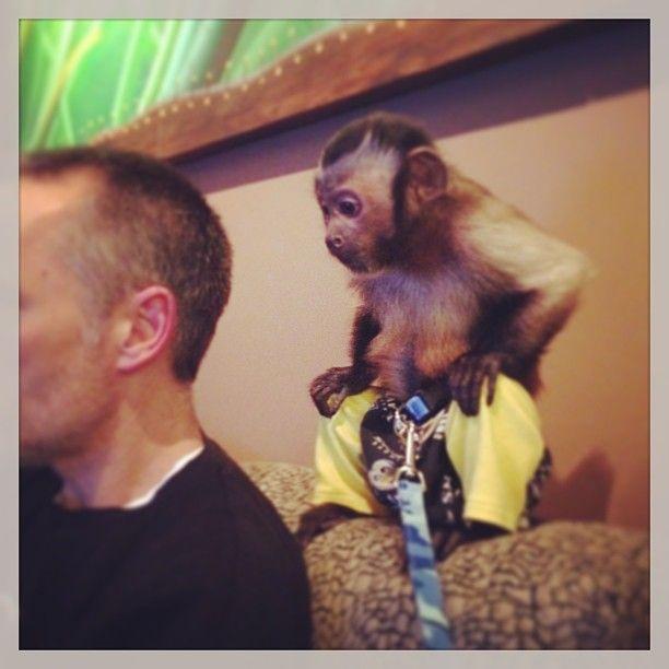 Capuchin Monkey Pet Monkey Orangutan Capuchin Monkey