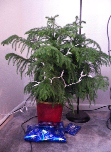 Caring For A Norfolk Pine