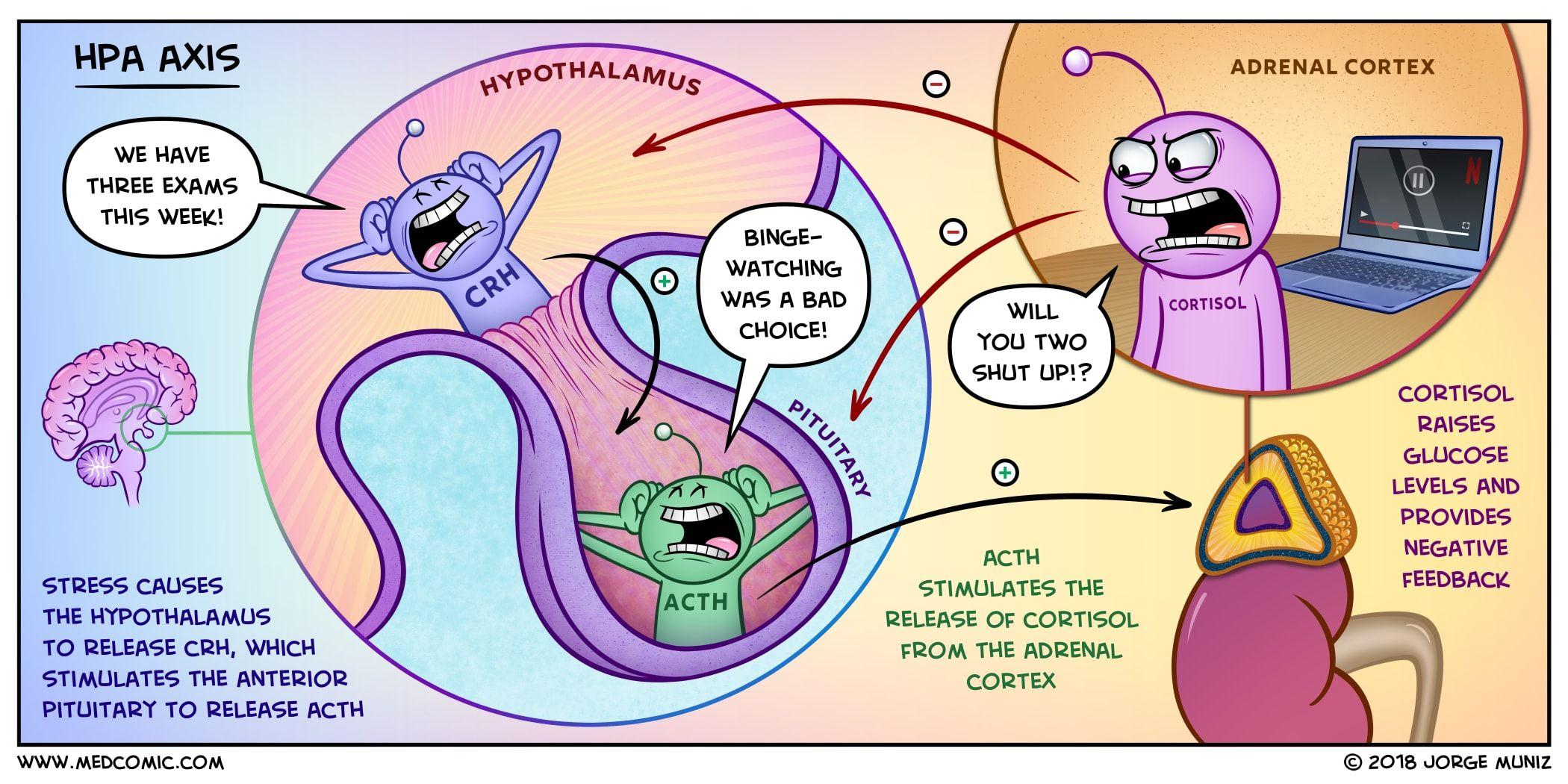 The Hypothalamic-pituitary-adrenal Axis Dr. Jorge Muñiz medcomic.com ...
