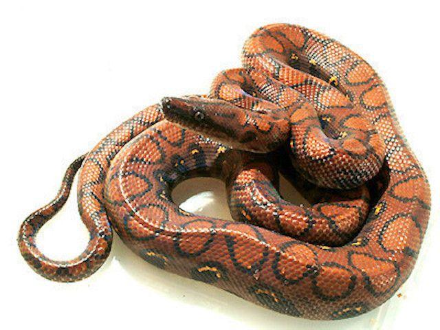ブラジルレインボーボア ニジボア 爬虫類の基本知識と飼育方法 爬虫類 ペット用品 ヘビ
