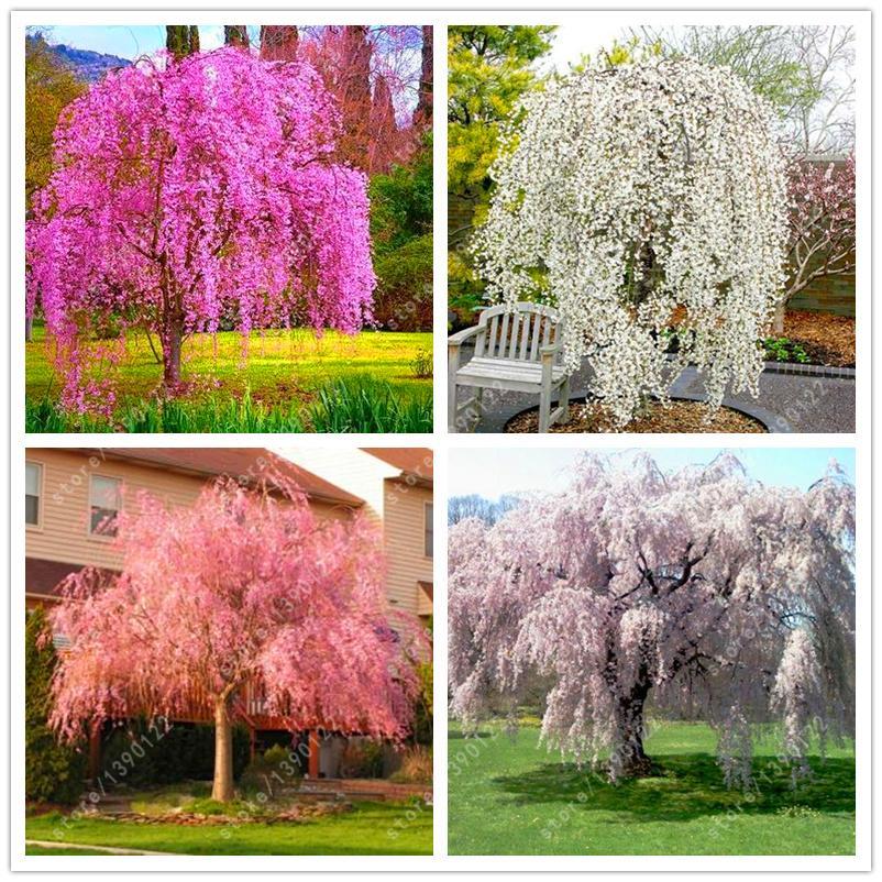 10 Pcs Bag Weeping Sakura Seeds Cherry Blossom Bonsai Tree Seeds Trees To Plant Flower Seeds
