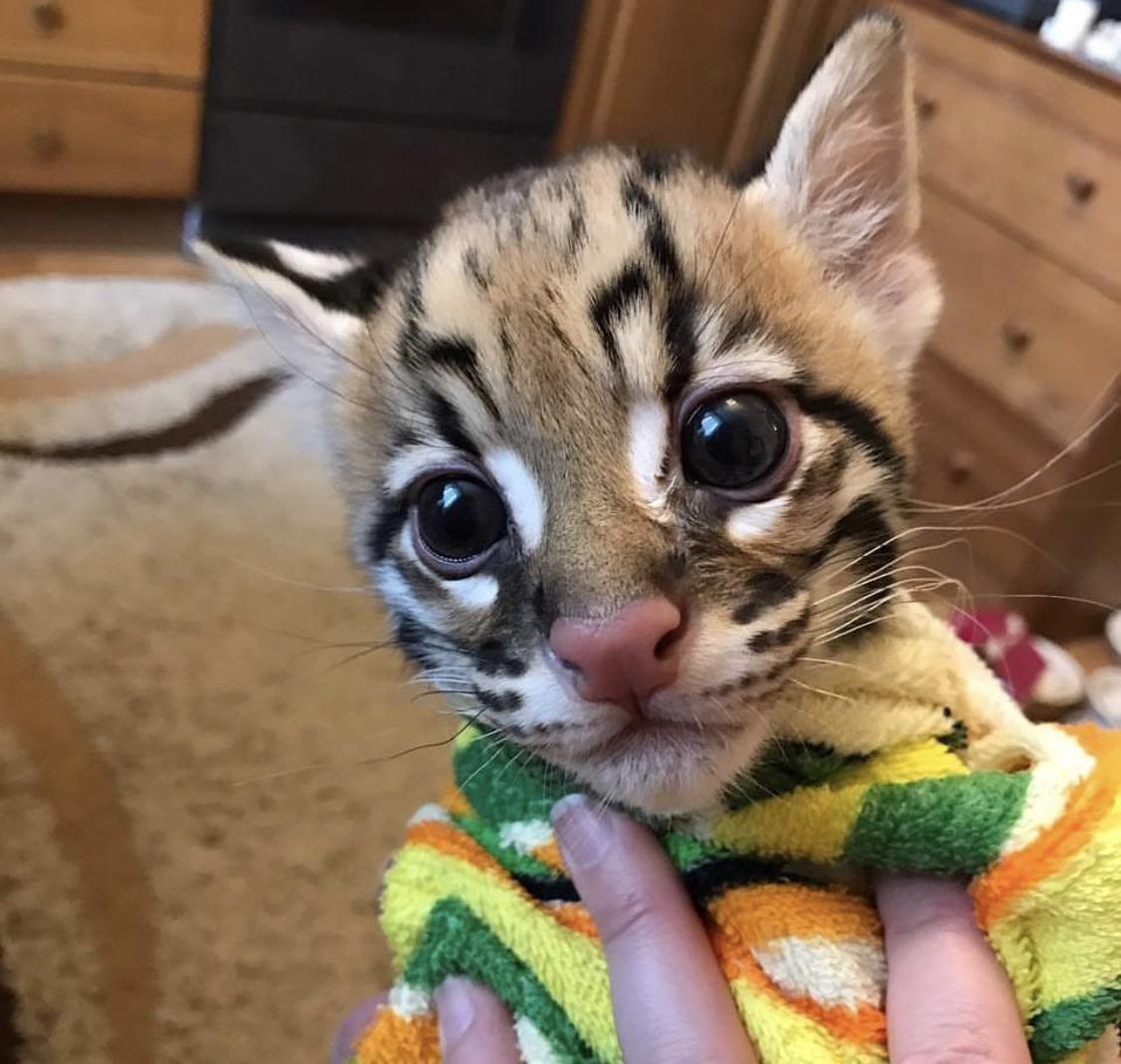 Rare Ocelot Kitten Born At The Desert Museum Endangered Animals Animal Pictures Endangered Wildlife