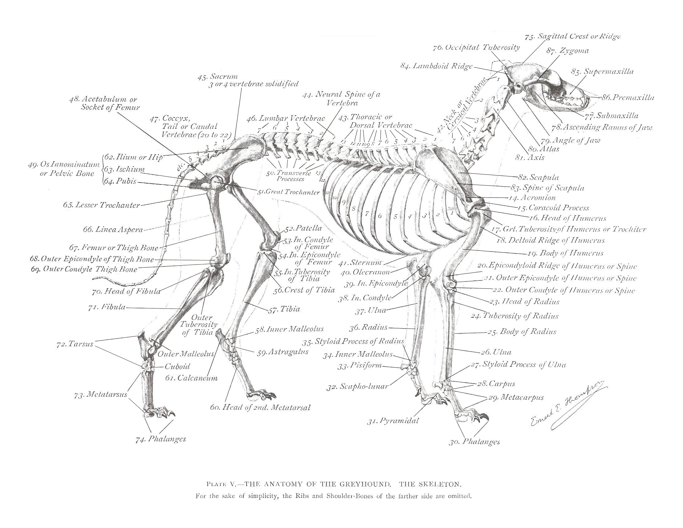 Dog Bone Diagram S Plan Wiring With Pump Overrun Greyhound Anatomy The Skeleton Click Link
