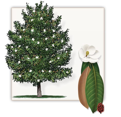 Southern Magnolia Tree Mature Height 60 70 Growth Rate 1