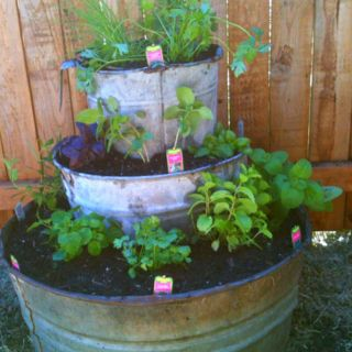 Herb garden in old galvanized buckets and tubs.