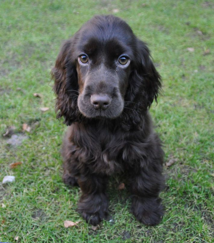 cocker spaniel 16 01 2011 spaniel pups
