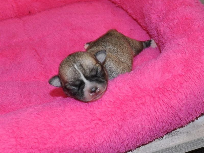 3 chiots Chihuahua - DES GRAINES DE STARS | Acheter mon chien