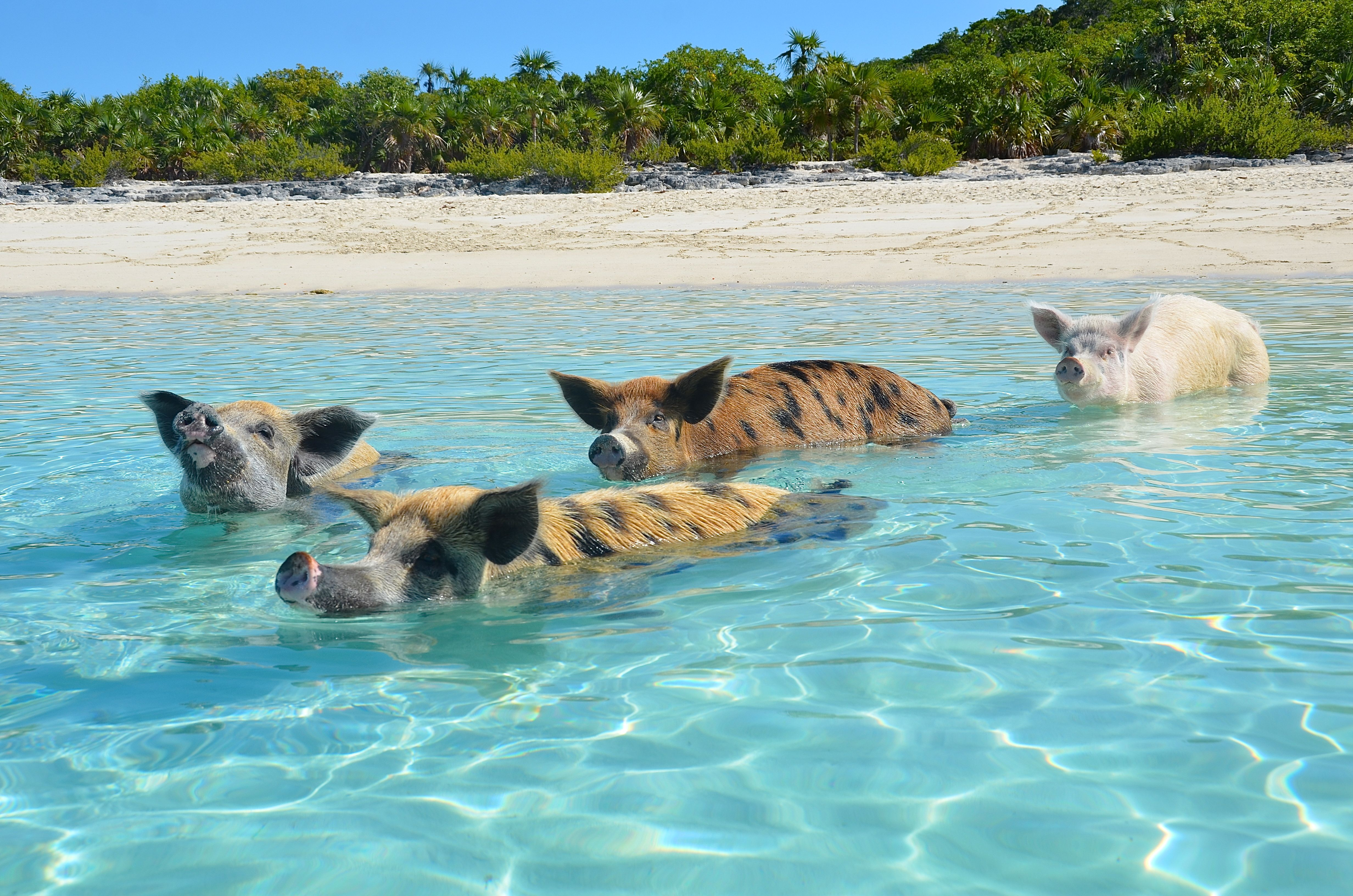 Swimming pigs Allen's Cay  #bahamas #exumas #pigs #feralpigs