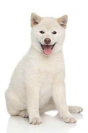 The Shiba Inu Dog Breed A Smart Determined Dog Is He Right For You