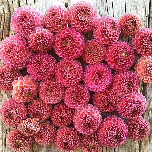 Another shot of 'Koko Puff'. This captures the true color a bit better. #growfloret #floretbulbs