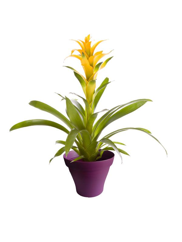 Guzmania jaune avec cache pot violet   Plantes d\'intérieur avec ...