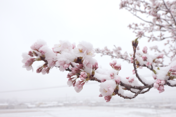Snow Sakura Spring And Winter Collide As Frost And Cherry Blossoms Mingle In Japan Photos Japan Sakura Cherry Blossom Snow Japan
