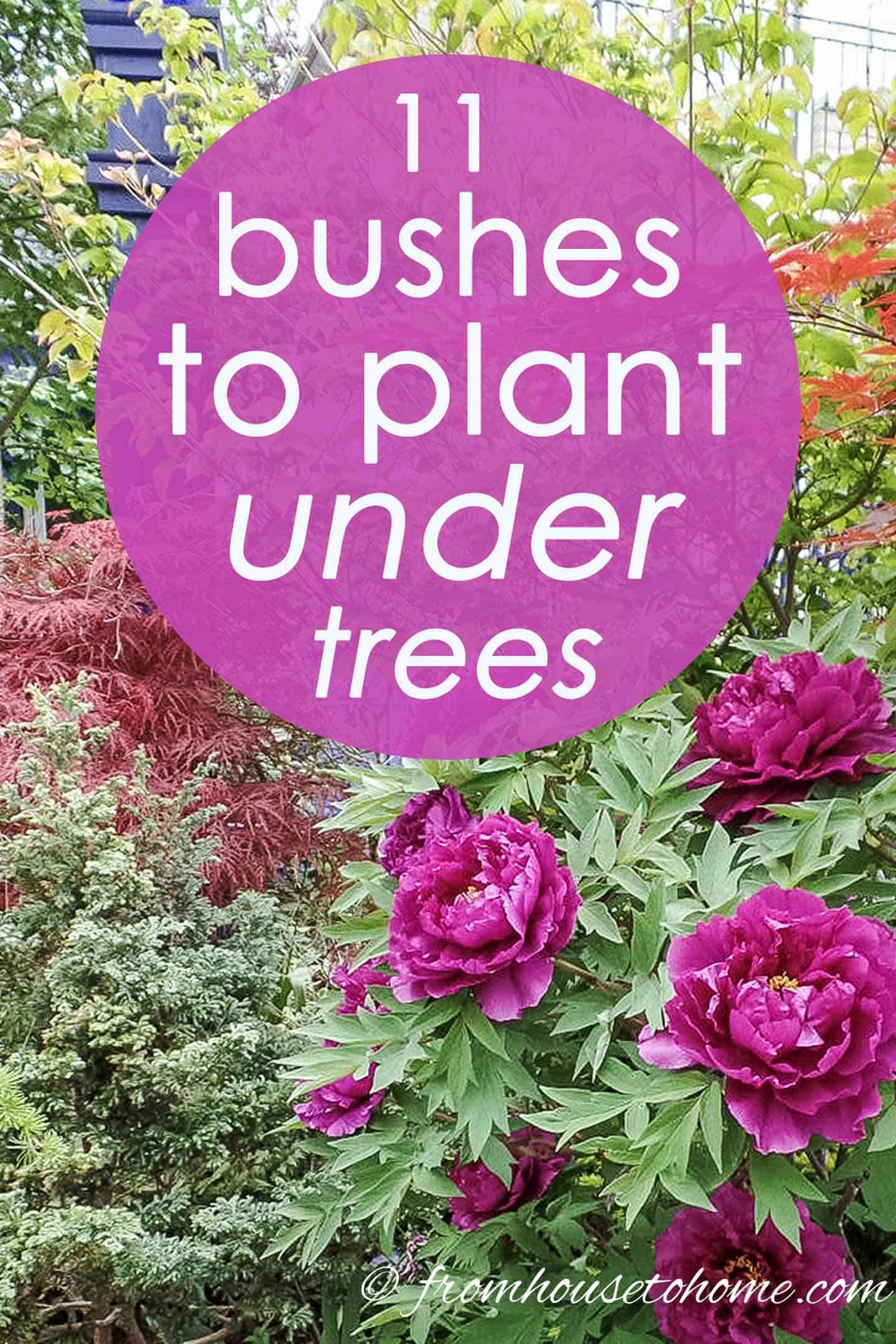 shrubs for shade on shade loving shrubs the best bushes to plant under trees gardening from house to home plants under trees shade loving shrubs shade garden plants shade loving shrubs shade garden plants