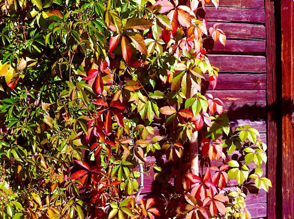 Virginia Creeper Maintenance: Growing Info And Virginia Creeper Plant Care