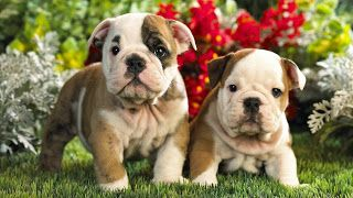Wallpaper High Quality Free Download Cute Puppies With Flowers