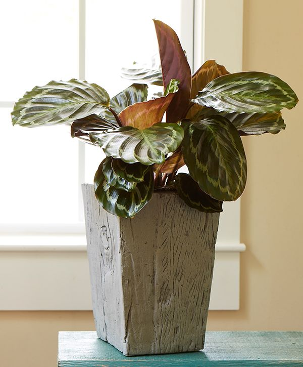 Easy To Grow Houseplants With Colorful Leaves Costa 640 x 480