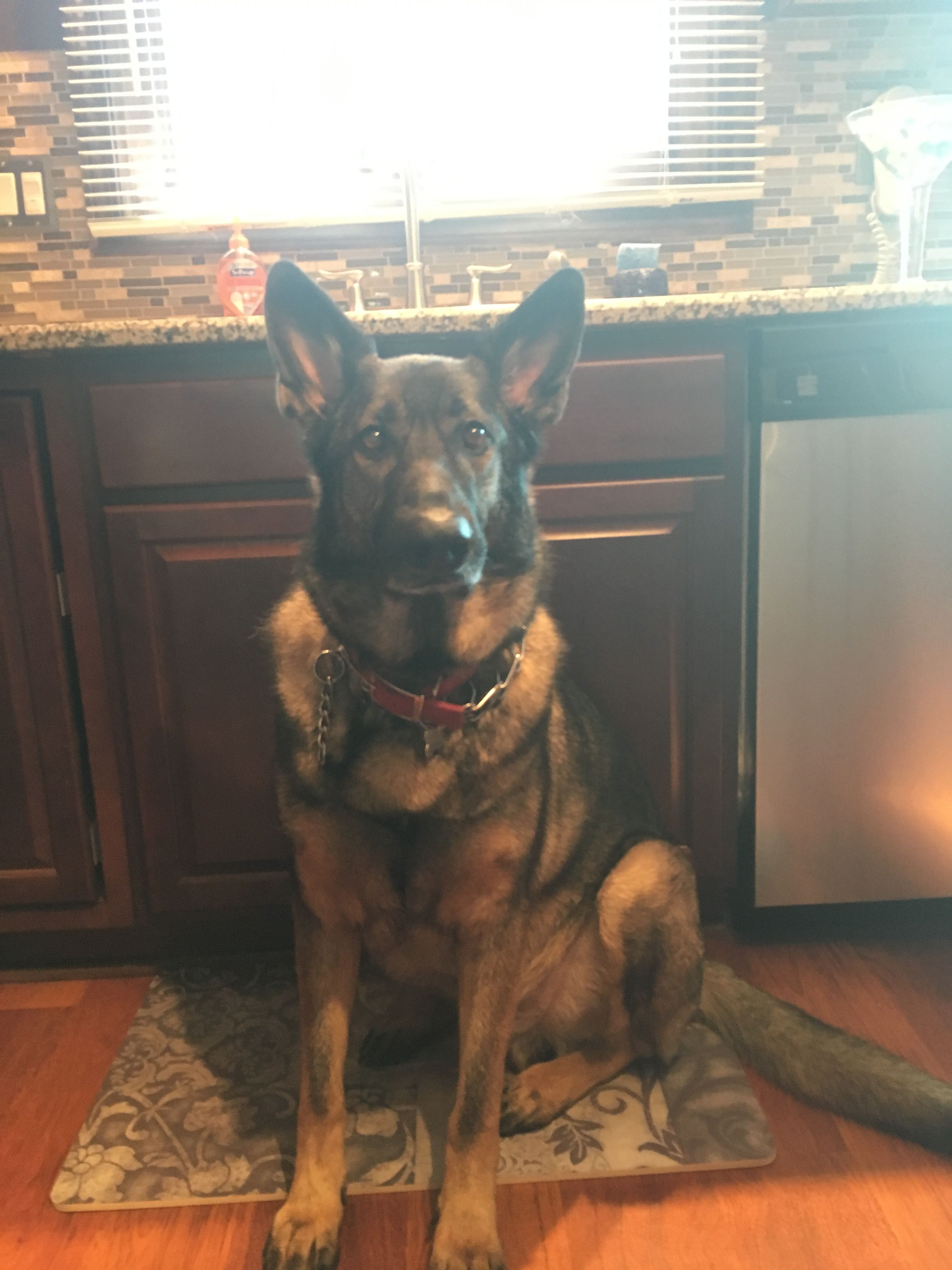Pin by Eva M. Shelton on German shepherds (With images